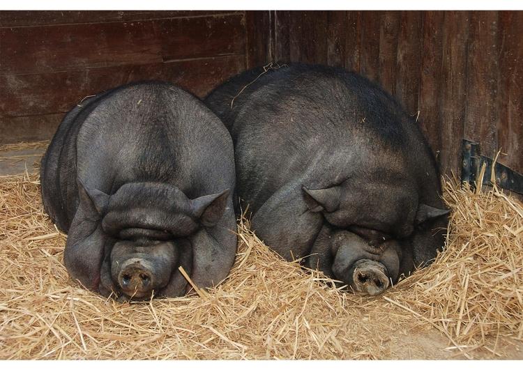 Красивая новогодняя причеСвинарник для вьетнамских свиней своими