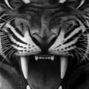 Silver_Tiger