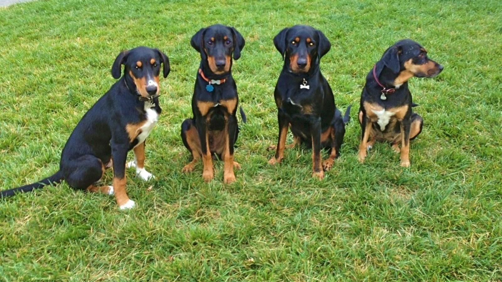 характер породы собаки трансильванская гончая