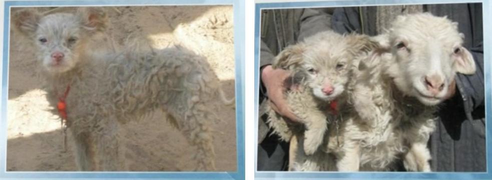 Овцепес (Китай) - - овца, собака
