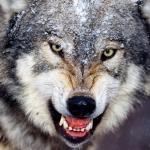 Wolf347