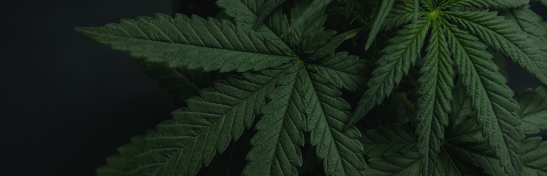 Флэш игра марихуана марихуана кормящим женщинам